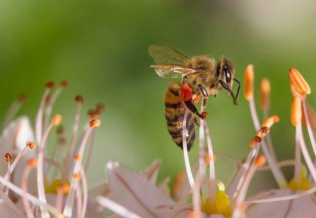 abeja transportando polen