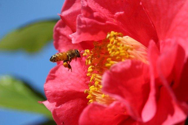 abeja recolectando polen